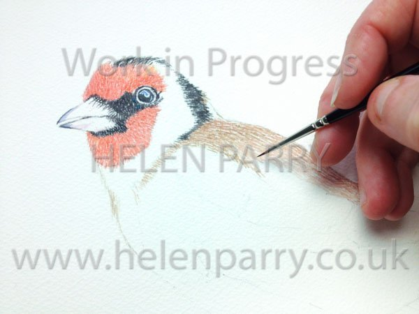 close up Goldfinch watercolour in progress
