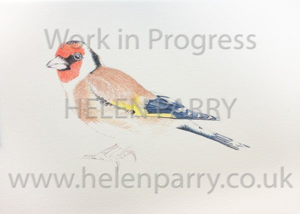 Third stage Goldfinch watercolour painting