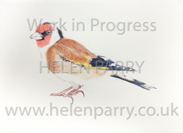 Fourth stage Goldfinch watercolour painting