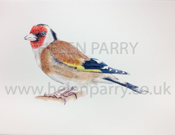 Goldfinch watercolour painting by Helen Parry