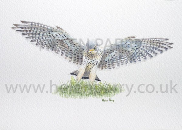 Kestrel Landing watercolour painting by Helen Parry