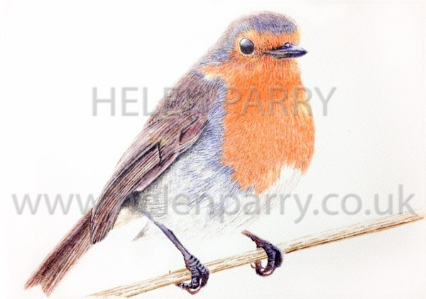 Robin watercolour by Helen Parry