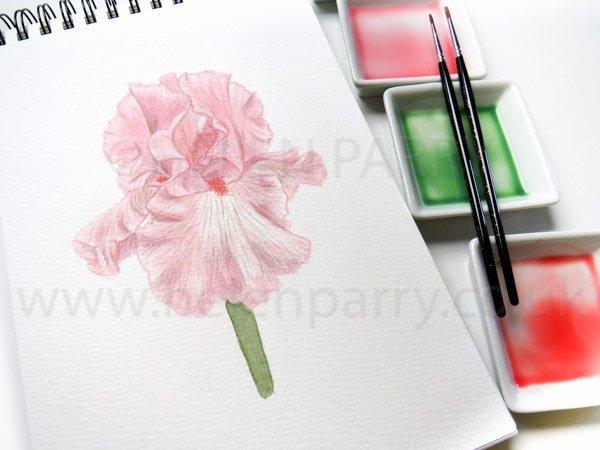 Pink Taffeta Iris watercolour by Helen Parry