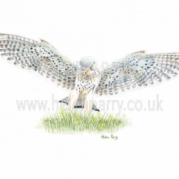 fine art print of kestrel landing in grass