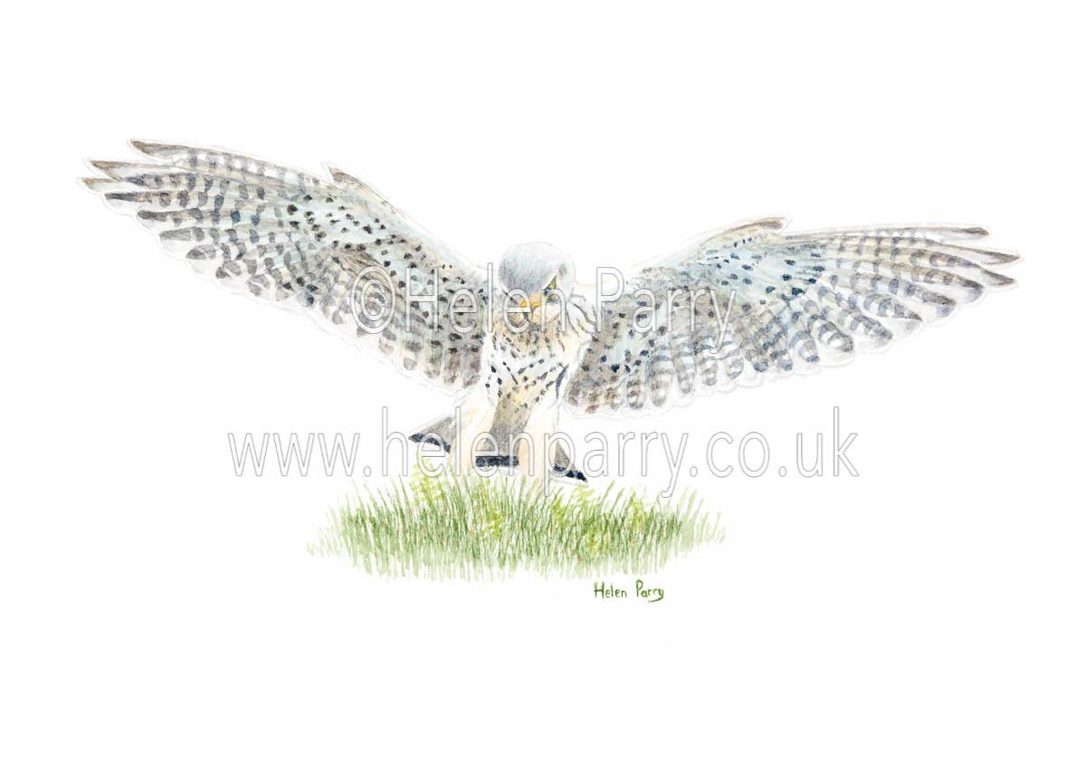 watercolour painting of kestrel landing