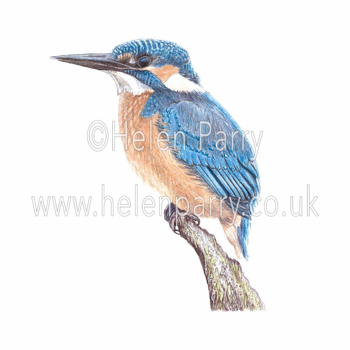 watercolour painting of Kingfisher wild bird