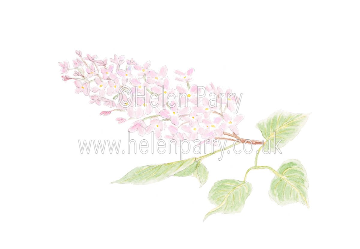 Lilac by Watercolour Artist Helen Parry