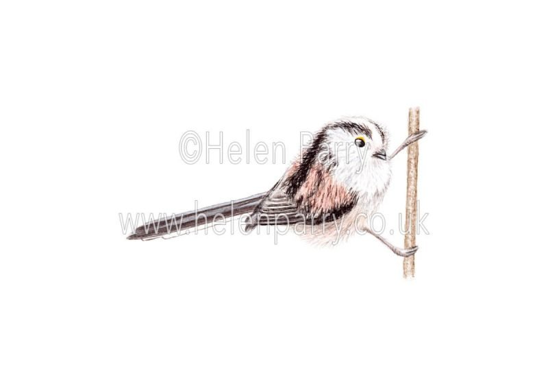 Long Tailed Tit - Aegithalos Caudatus by Watercolour Artist Helen Parry