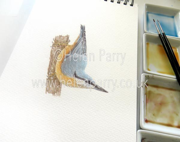 Nuthatch watercolour sketch by Helen Parry