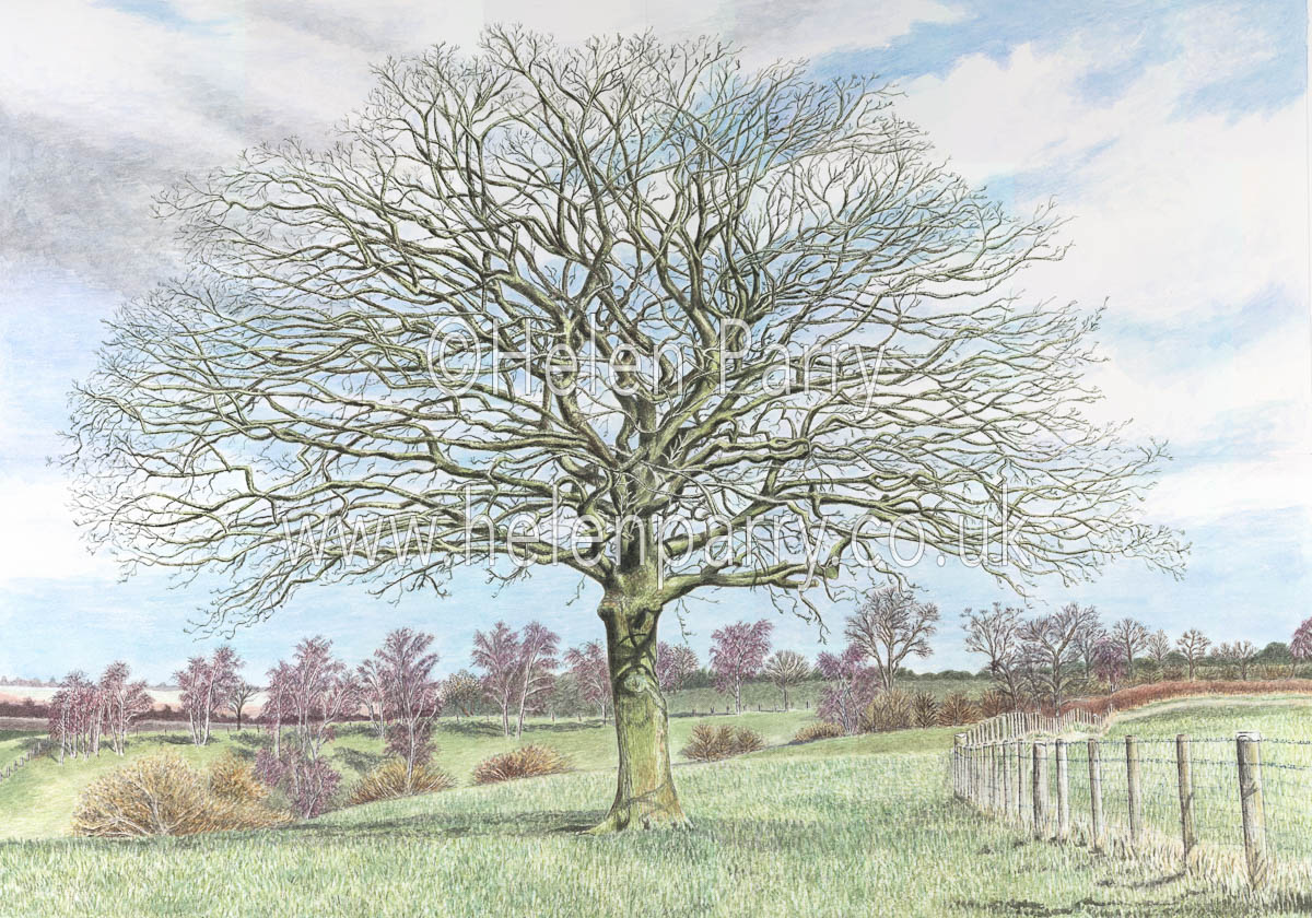 watercolour painting of Oak Tree with branches reaching out
