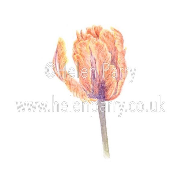 Parrot Tulip - Irene by Watercolour Artist Helen Parry