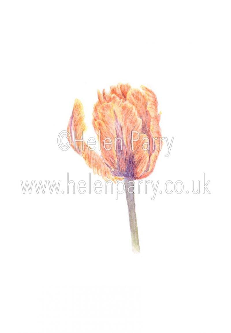 Parrot Tulip - Irene by Watercolour Artist Helen Parry