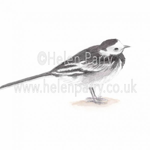 Pied Wagtail watercolour painting