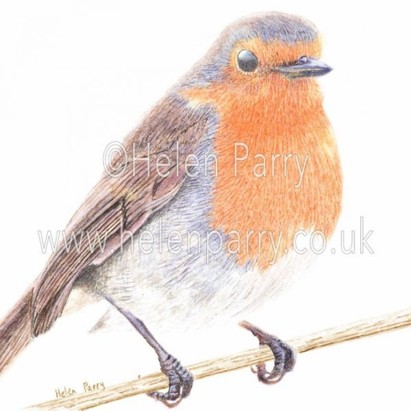 watercolour painting of Robin bird