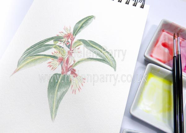 Sarcococca watercolour sketch by Helen Parry
