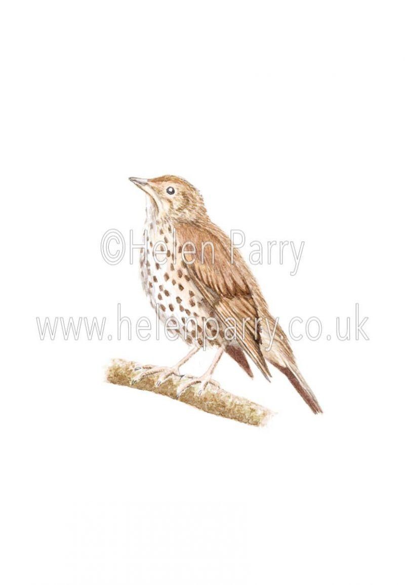 Song Thrush - Turdus philomelos by Watercolour Artist Helen Parry