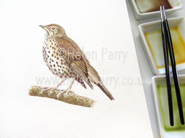 Song Thrush watercolour sketch by Helen Parry