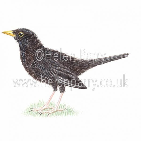 Blackbird watercolour painting