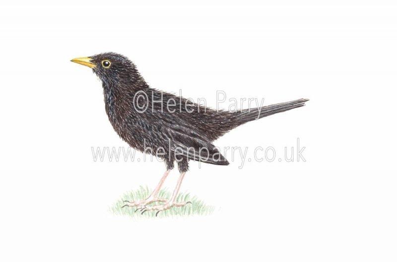 watercolour painting of blackbird