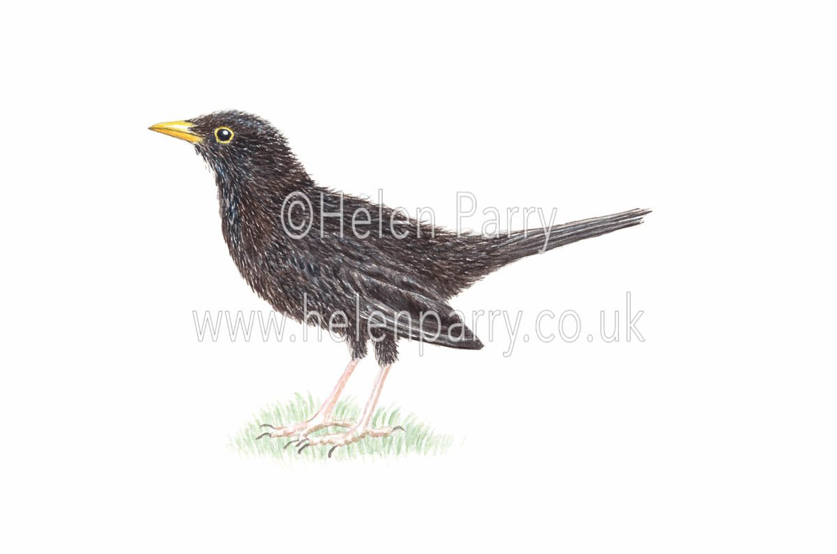 watercolour painting of blackbird