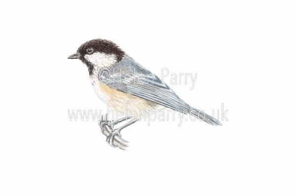 watercolour painting of Coal Tit bird