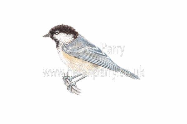 watercolour painting of Coal Tit bird