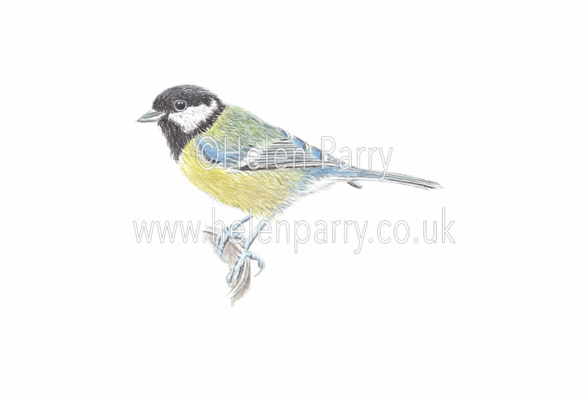 watercolour painting of Great Tit bird