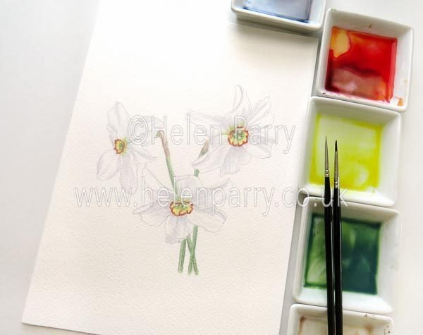 Helen Parry Watercolour Artist -Narcissus Poeticus
