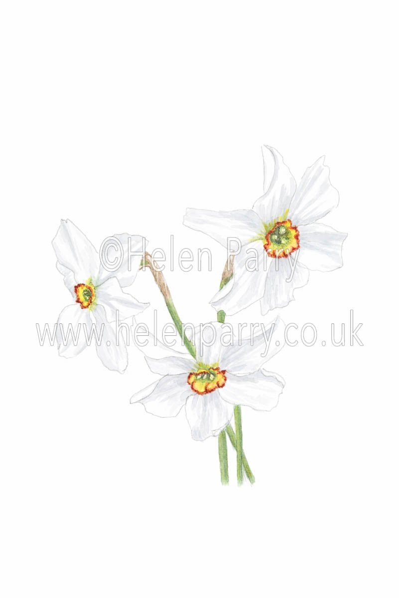 watercolour painting of narcissus poeticus flowers