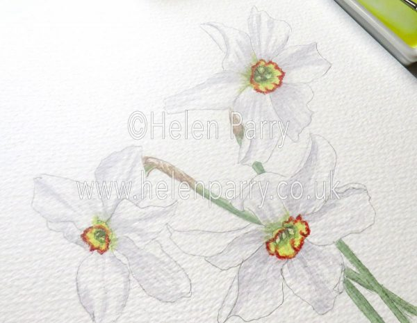 watercolour painting close up of narcissus poeticus flowers