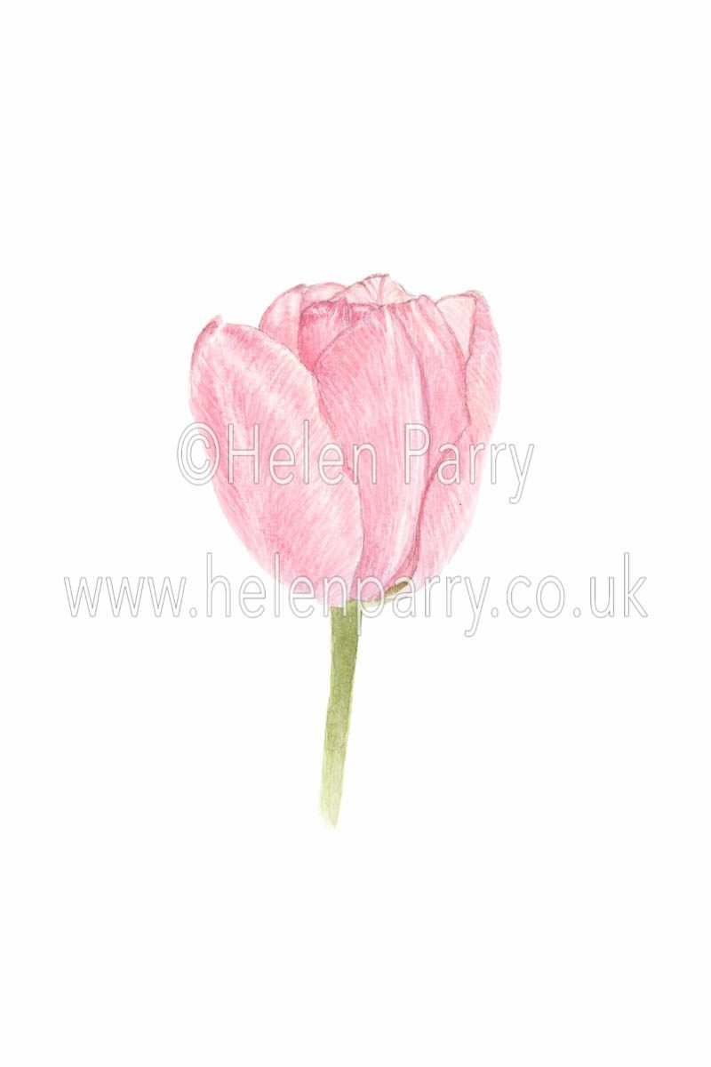 watercolour painting of pale pink tulip flower