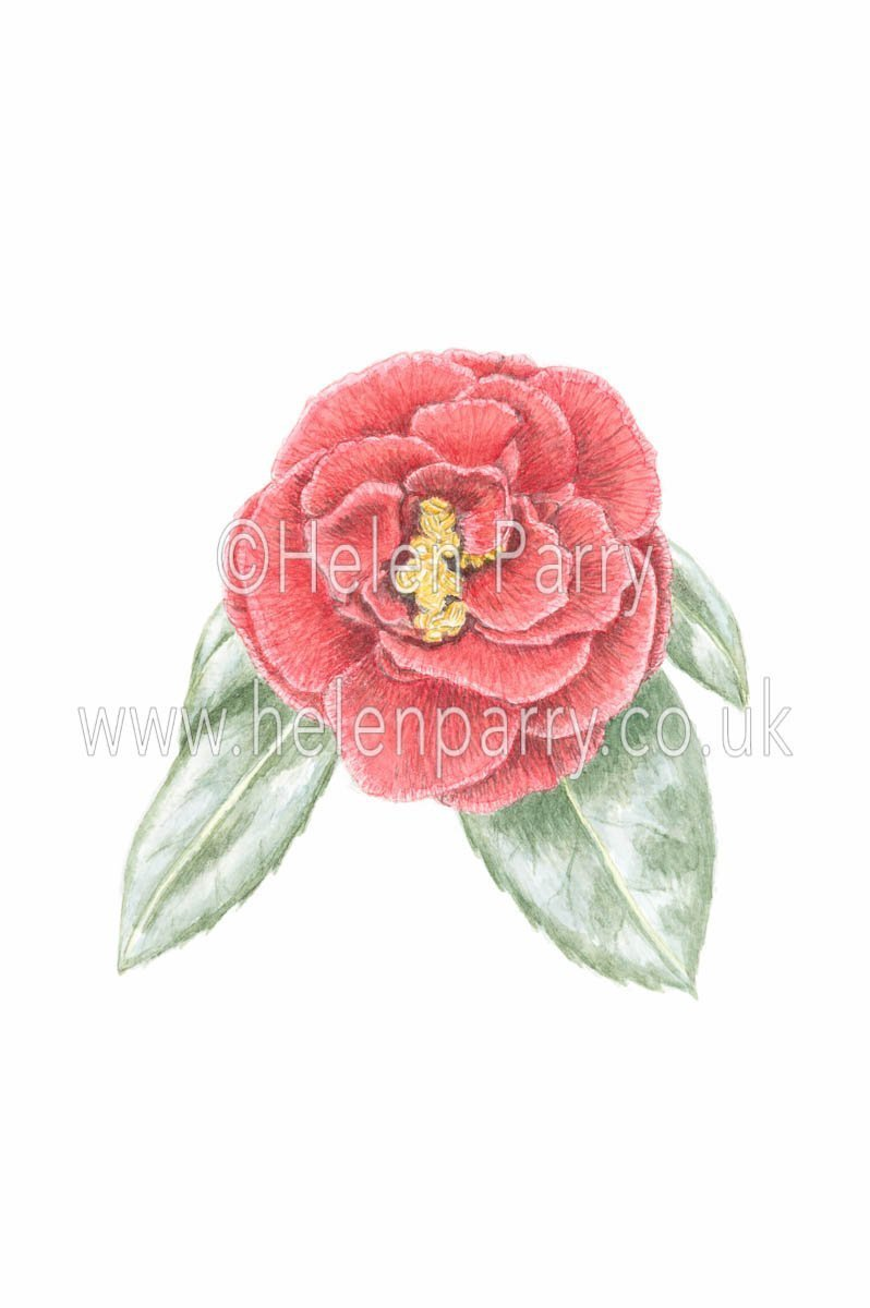 watercolour painting of red camellia flower