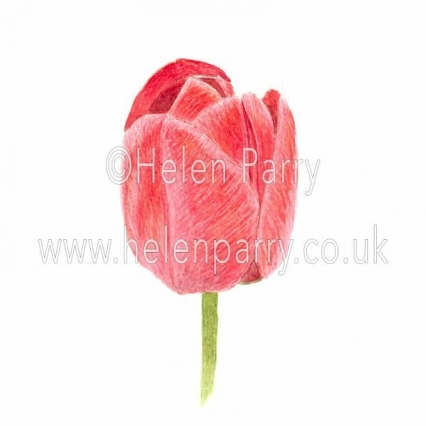 watercolour painting of red tulip flower