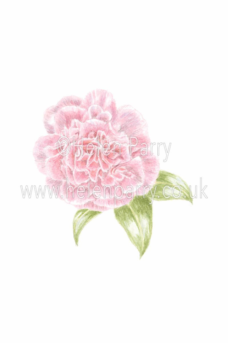 watercolour painting of rosy pink camellia flower