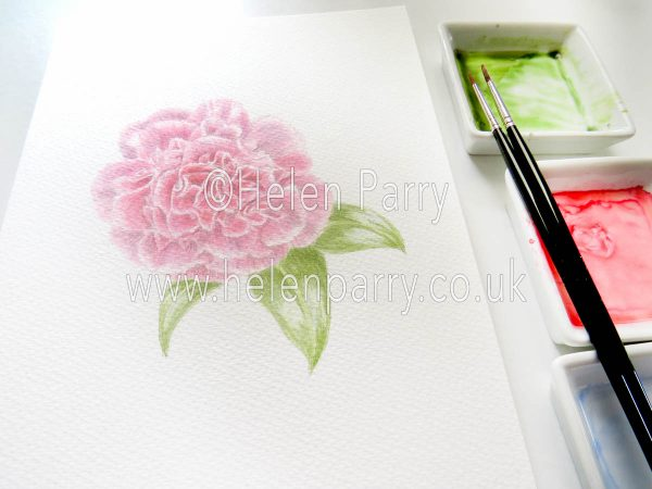 watercolour painting of rosy pink camellia flower in studio