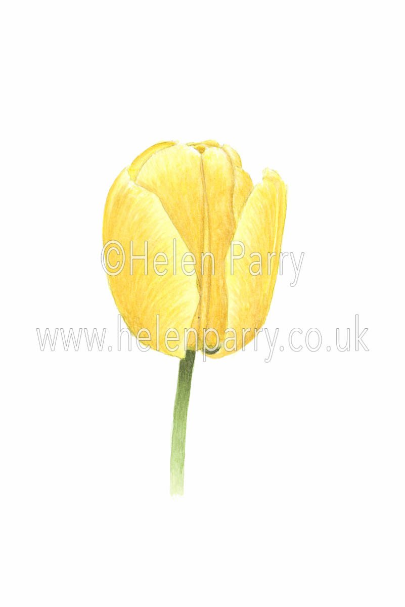 watercolour painting of yellow tulip flower