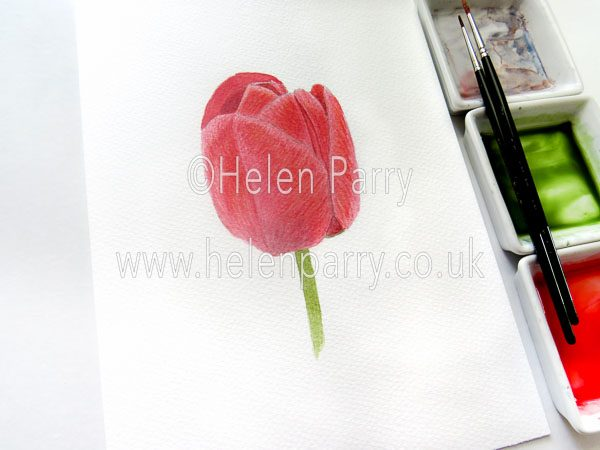 Helen Parry Watercolour Artist Red Tulip