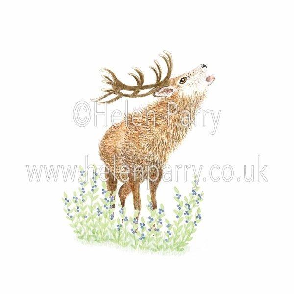 watercolour painting of red deer stag roaring in bilberries