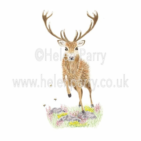 watercolour painting of red deer stag climbing rocks and heather