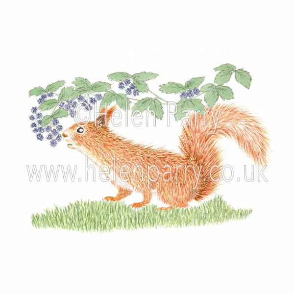 Watercolour painting of red squirrel underneath branch eating blackberries