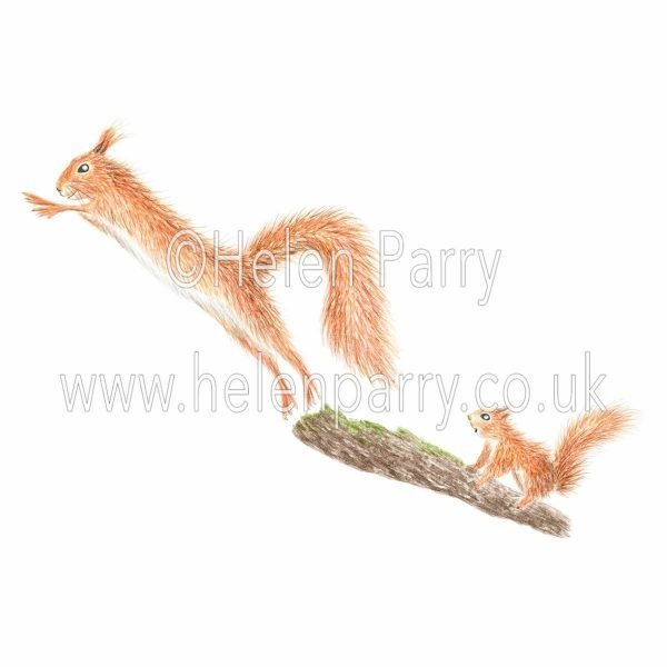 Watercolour painting of red squirrel jumping off branch with young red squirrel watching