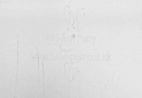 pencil sketch of a brown hare