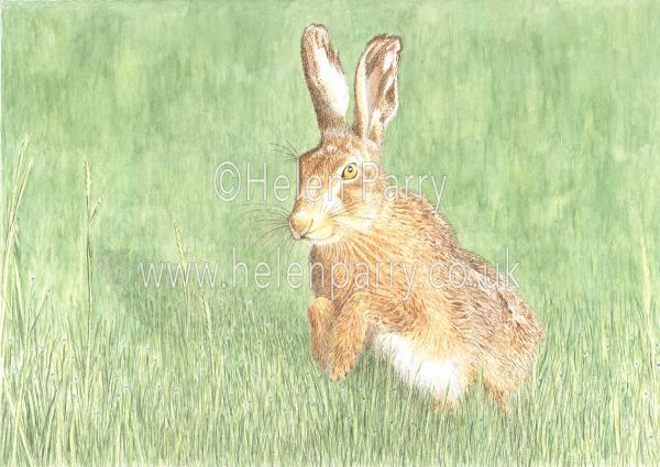 painting of brown hare in watercolour with soft grass background