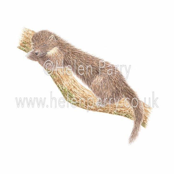 greeting card of pine marten sleeping on branch