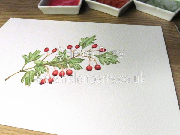 watercolour of hawthorn berries by Helen Parry