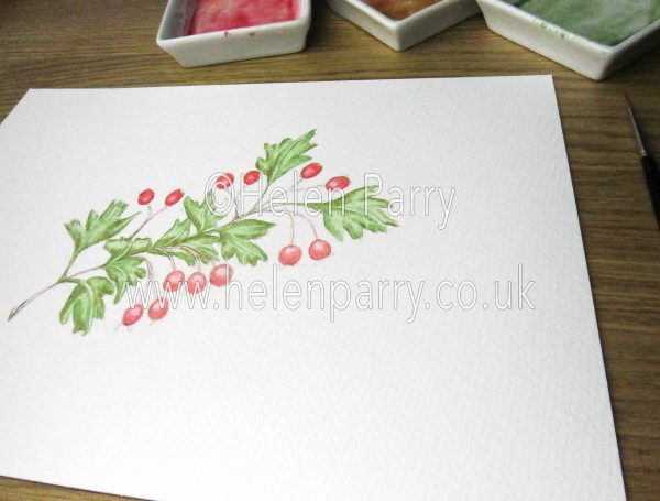 watercolour hawthorn berries work in progress by Helen Parry