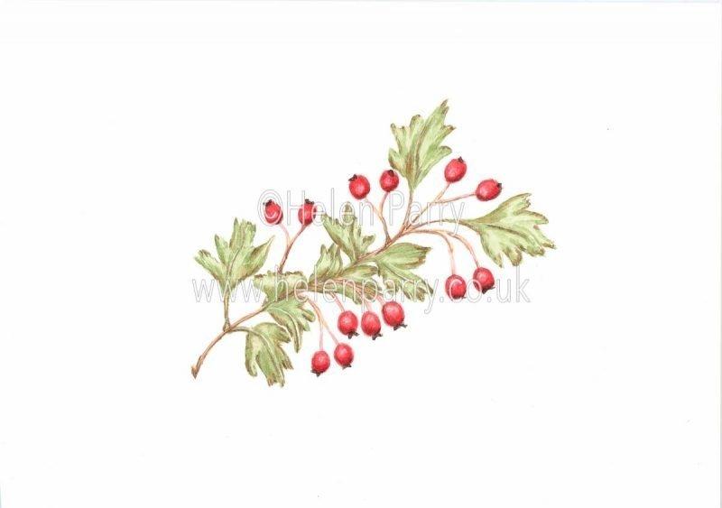 Hawthorn Berries watercolour painting