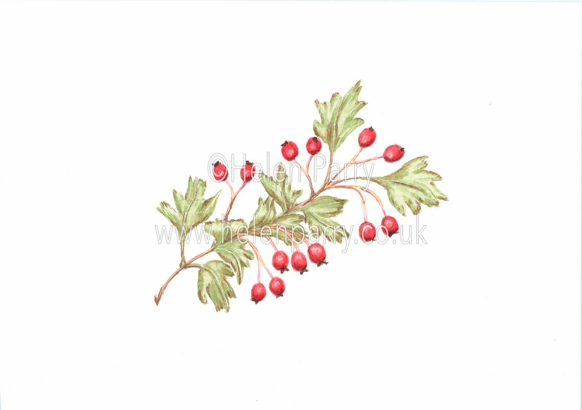 Hawthorn Berries watercolour painting