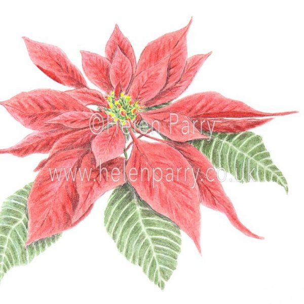 Poinsettia watercolour sketch