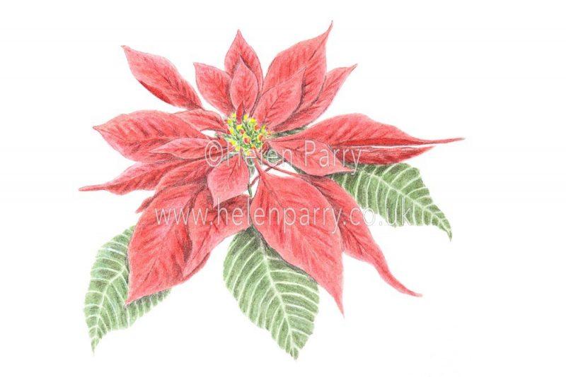 Poinsettia watercolour sketch